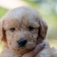 Goodendoodle Puppy