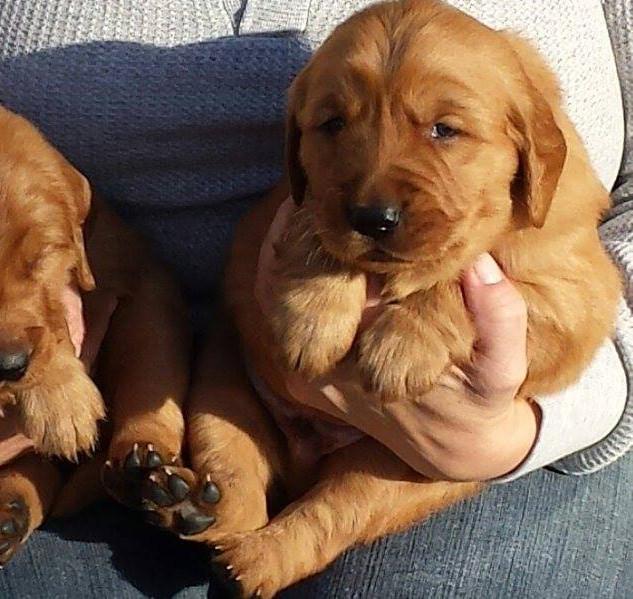 Golden Retriever Puppies 1