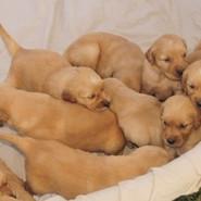 Golden Retriever Puppies_edited.jpg