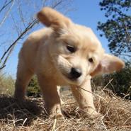 Golden Retriever Puppies