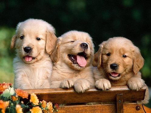 Golden Retriever Puppy Deposit