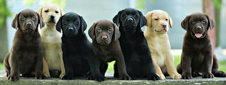 chocolate-black-yellow-red-labrador-pupp