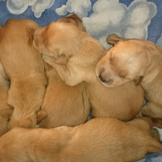 Golden Retriever Puppies 2