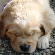 Golden Retriever Puppies Boy Sleeping.jp