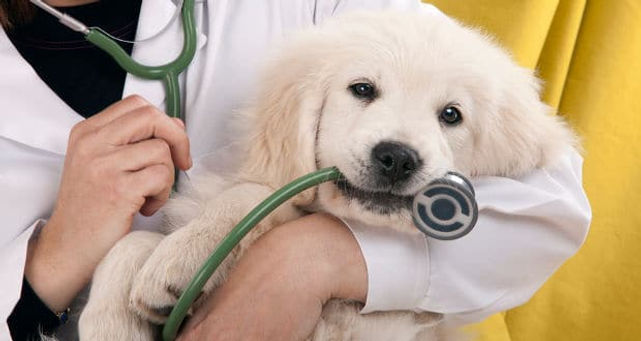 golden-retriever puppy stethoscope.jpg