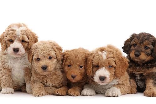 Goldendoodle Puppy Deposit