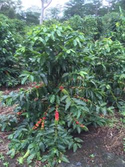 coffee ripe.jpg