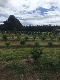 coffee field.jpg