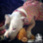 Blanche the Pinup Pup - Rescue Pit Bull Therapy Dog