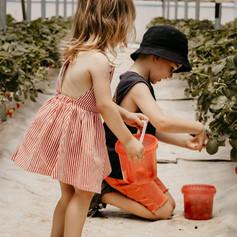 Strawberry Picking Benoni