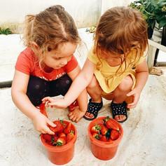 389B17E7-F9Strawberry Picking Benoni71-43A4-B222-877615EB1D83-A7F