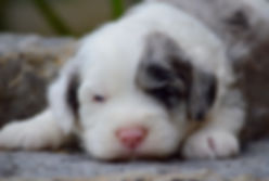 Merle male 1 close up (Mini Sheepadoodle