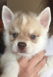 Blue eyed Red Solo Pup