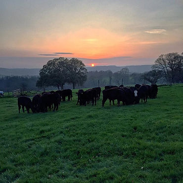 Sunset beef cattle