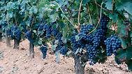 vigne-maturite-1024.jpg