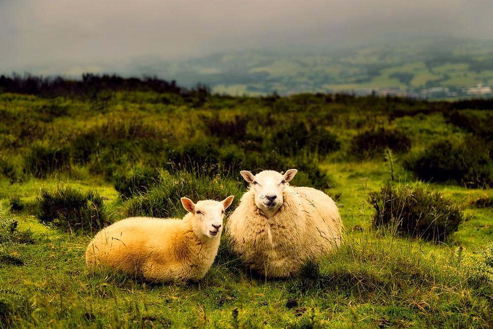 two sheep lying in a field