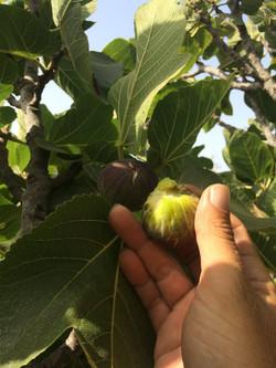 Organi Figs Tarifa Veggie Garden