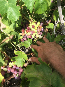 Tarifa Organic Grapes