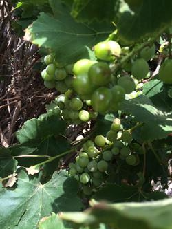 More Tarifa Grapes