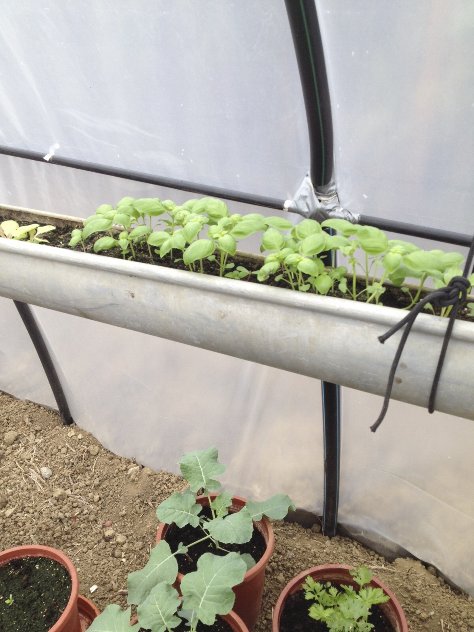 Organic Basil Tarifa