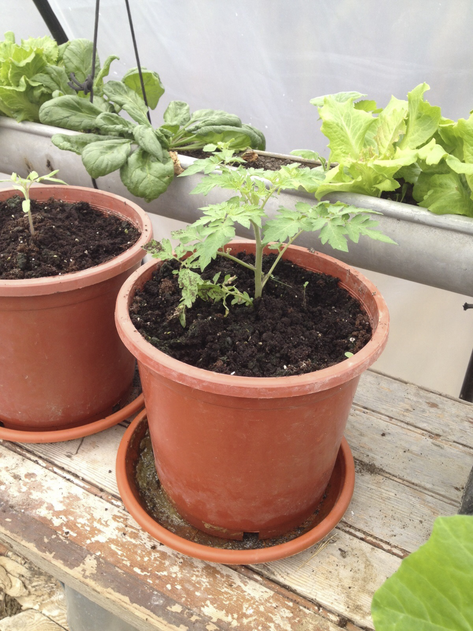 Baby tomato plant growing