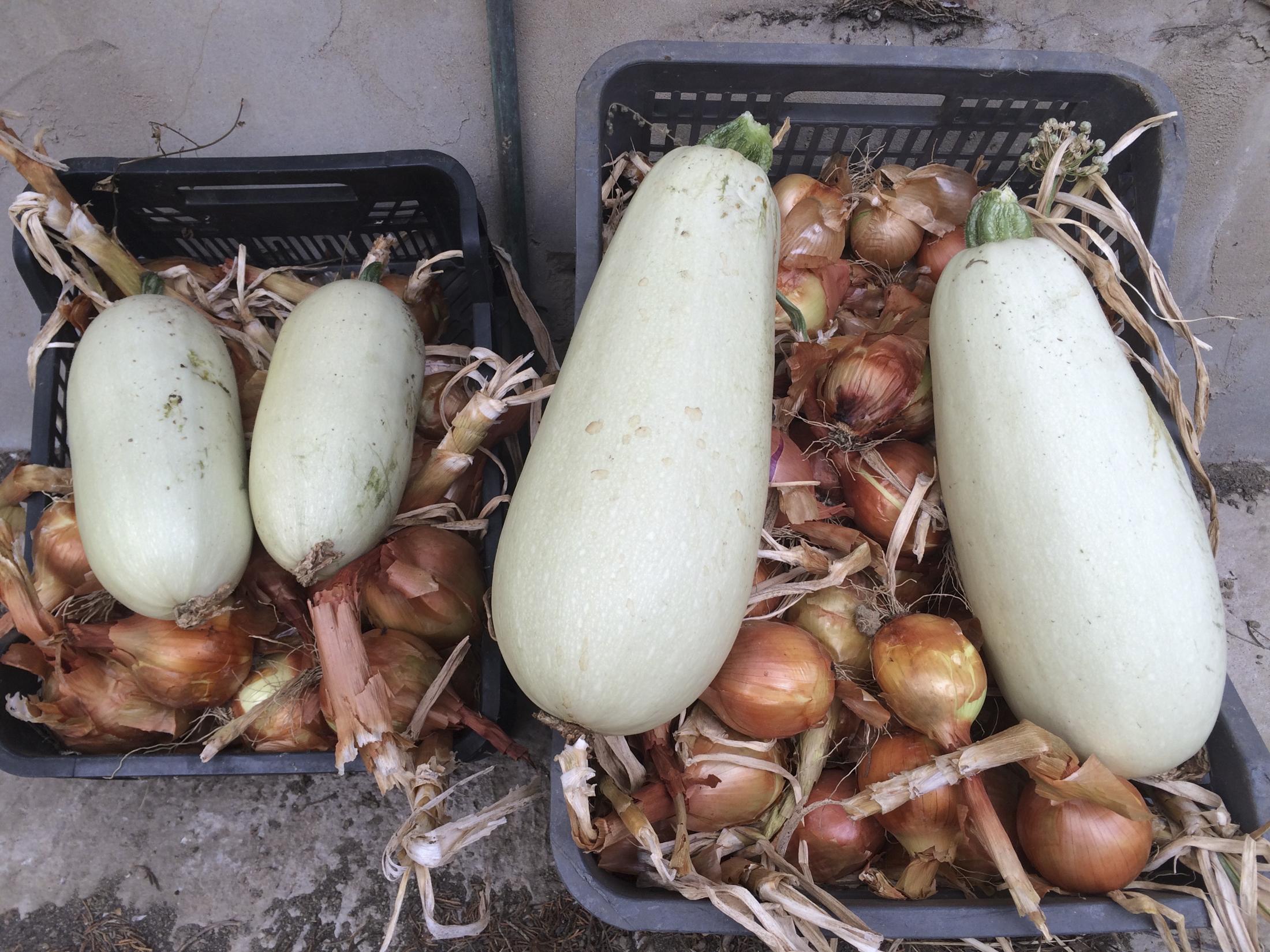 Organic Zucchini and onions