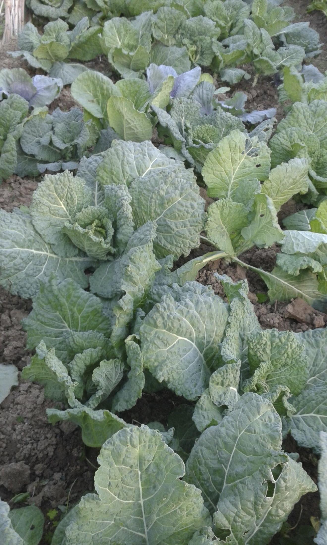 Organic Cabbage Tarifa Garden