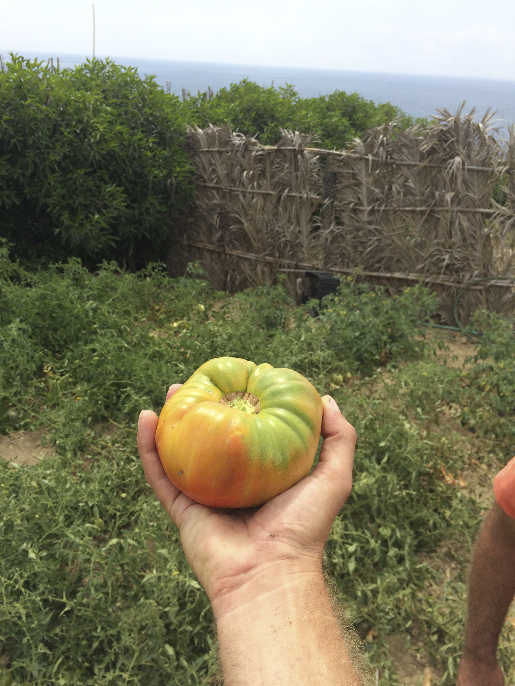 Another Organic Huge Tomato