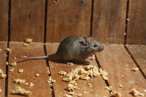 Mäuse- und Rattenbekämpfung