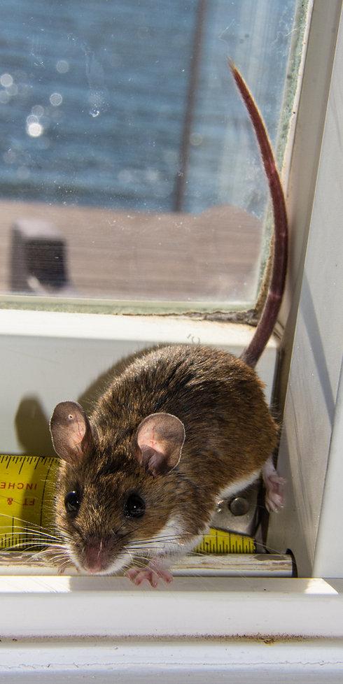 Außergewöhnlich Mäuse u. Ratten bekämpfen | Österreich | Die Schädlingsbekämpfung &SZ_65