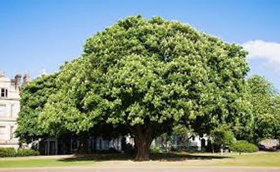 CT horsechestnut tree.jpg
