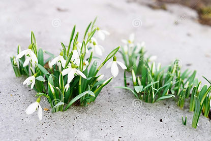 Snowdrop photo.jpg