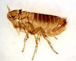 Flea Pest Control | Pure Pest Solutions | Oxford