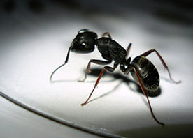 Ant Pest Control   Pure Pest Solutions   Oxford
