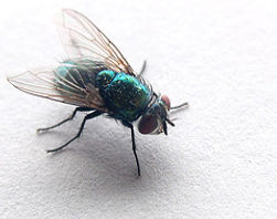 Fly Pest Control | Pure Pest Solutions