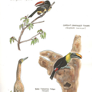 Birds of the Osa