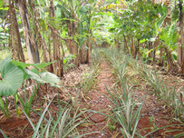 Artigo - Sistemas agroflorestais biodiversos conservam e melhoram a qualidade do solo