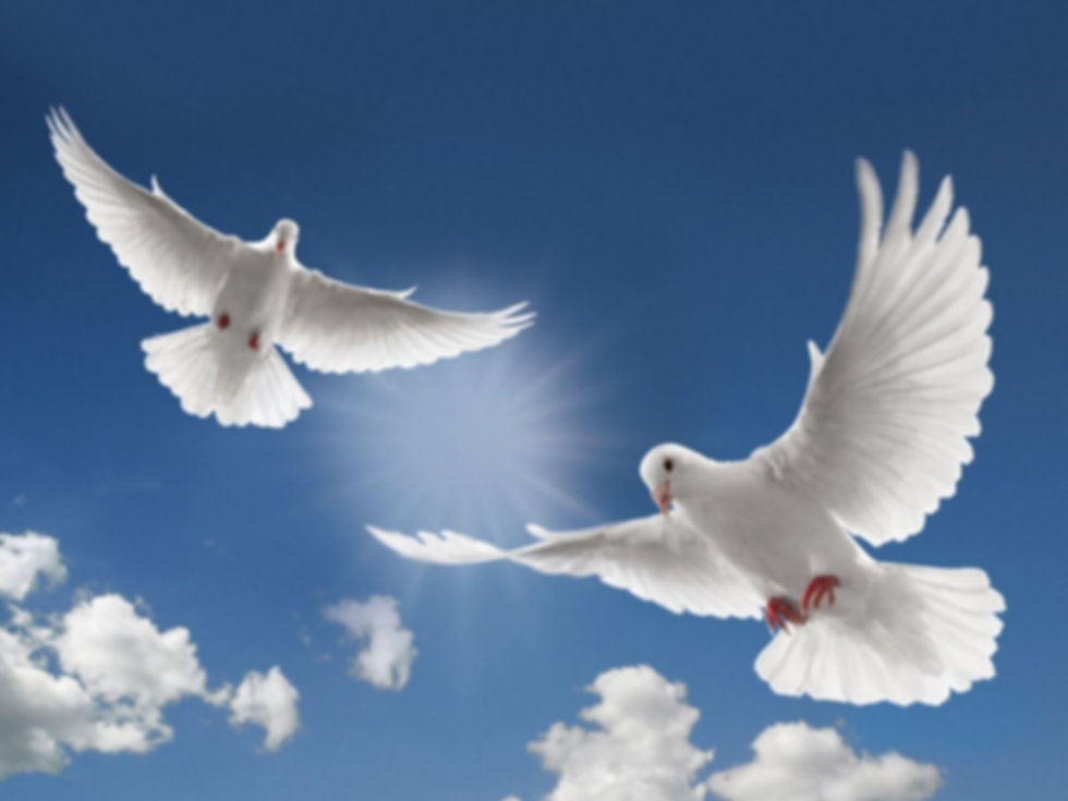 white-dove-flying-picture-hd-desktop-wal