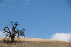 Tree at Pena Adobe