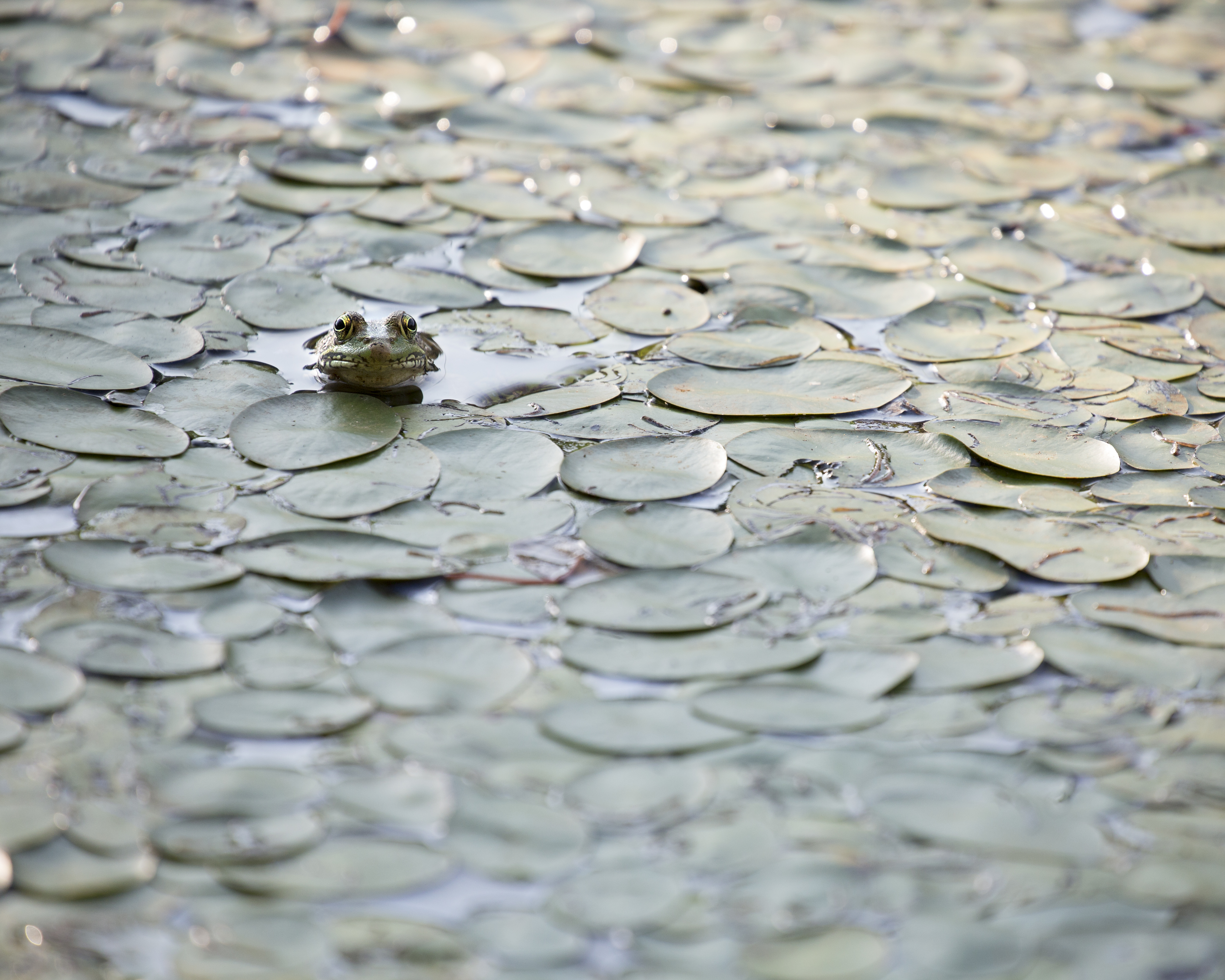 Portrait of a Frog in a Pond