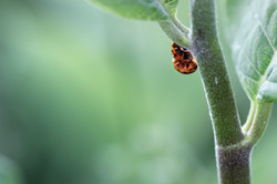 Sexual Reproduction in Ladybugs