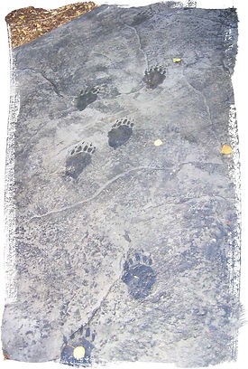 painted bear tracks on stamped concrete walk