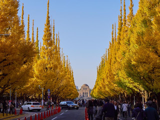 34. Ginko trees in autumn, Aoyama.jpg