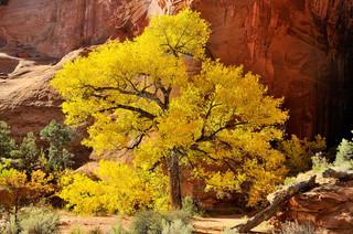 12. Cottonwood Tree, Utah.jpg