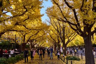 33. Ginko trees in autumn, Aoyama.jpg