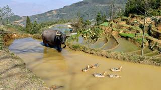 46. Water buffalo, Yuanyang, Yunnan.jpg