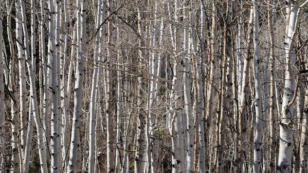 21. Aspen trees, Utah.jpg