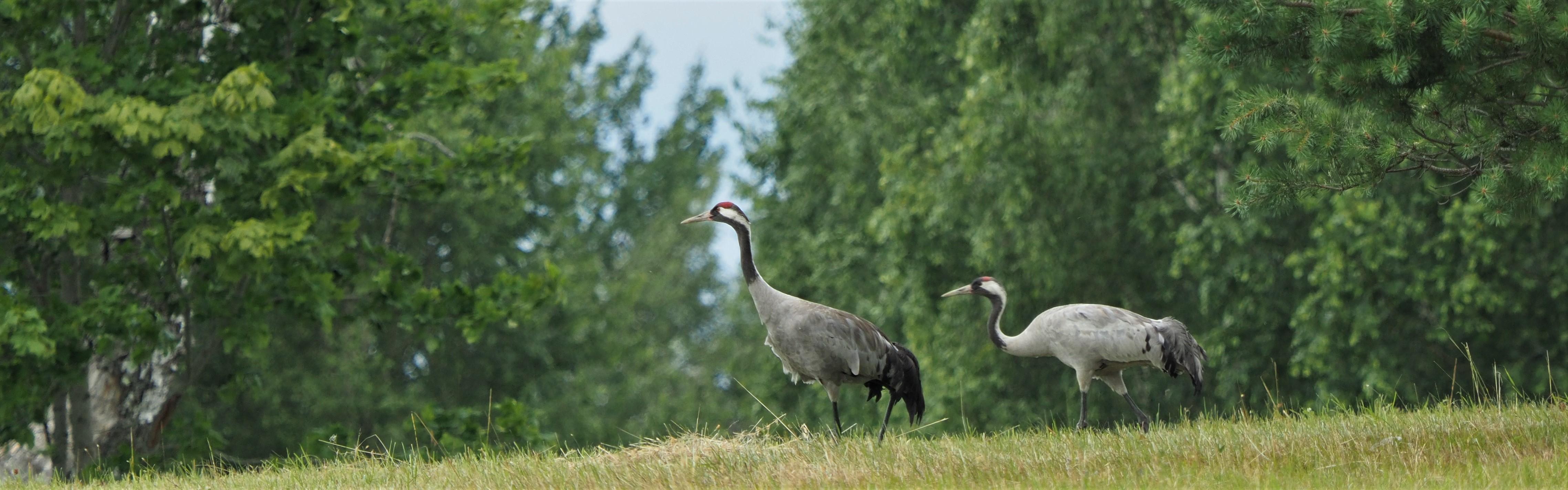 Common Crane 1