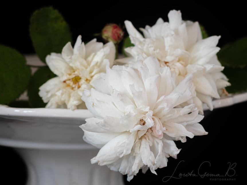 Close up of 'White Provence' (Centifolia) on a vase against black background.
