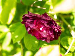 My Rose Garden in July #4
